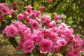 Rododendron 'Rosebud' (1)